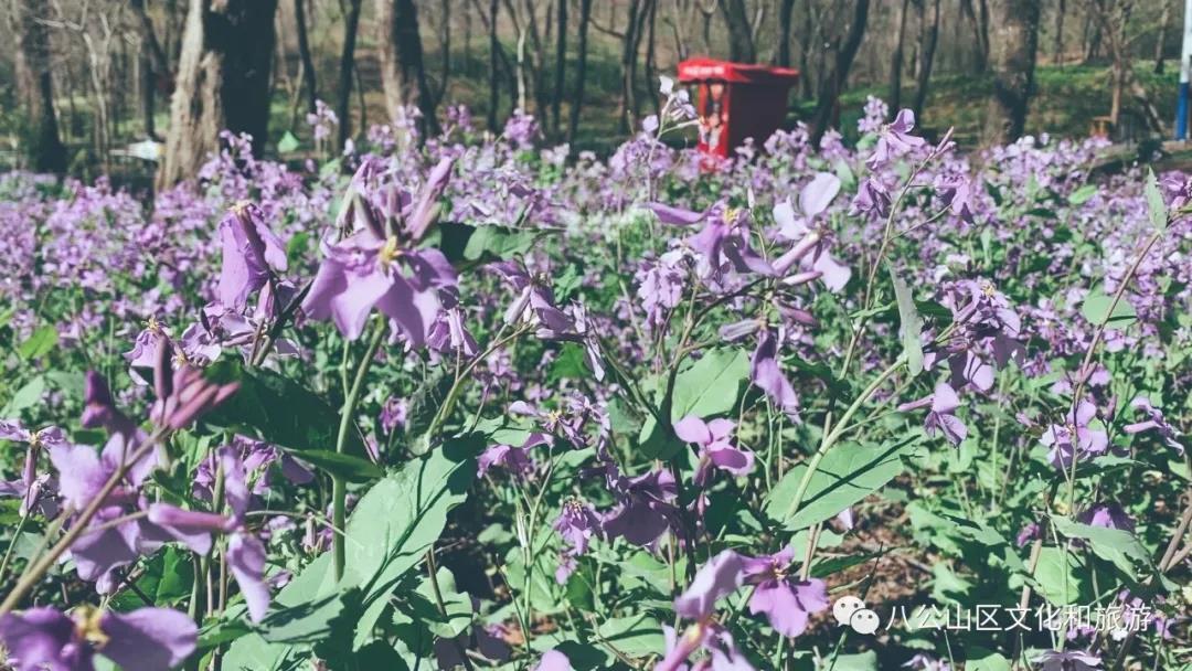 八公山忘情谷快被这片紫色占领了