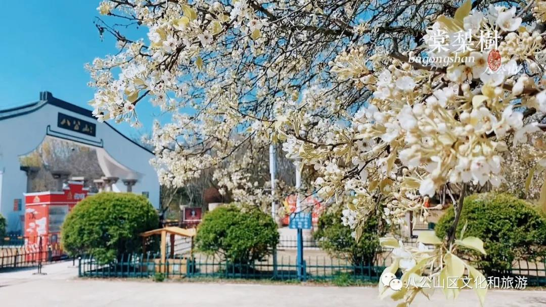 八公山棠梨花开,惊艳了这个春天